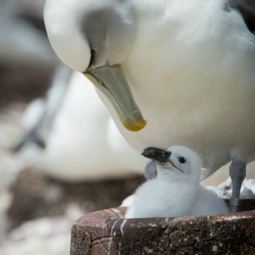 Beton fészkek az albatroszok megmentői?